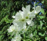 Exochorda × macrantha