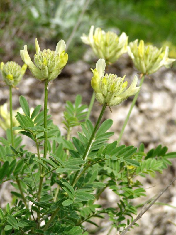 Изображение растения Astragalus zingeri.