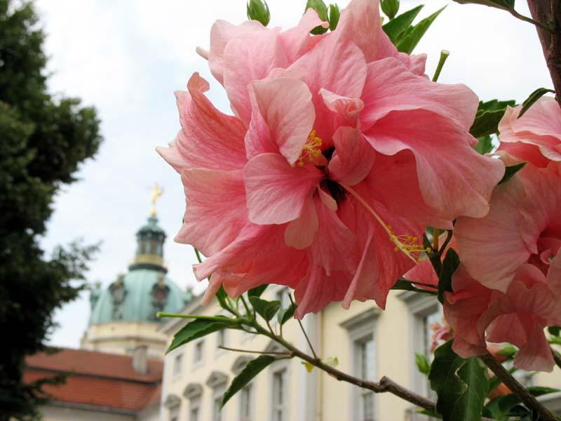 Цветок махровая форма фрг берлин в
