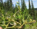 Diphasiastrum complanatum ssp. hastulatum