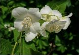 Hydrangeaceae