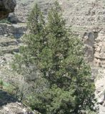 Juniperus turcomanica