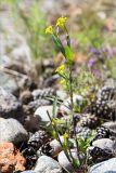 Erysimum hieracifolium