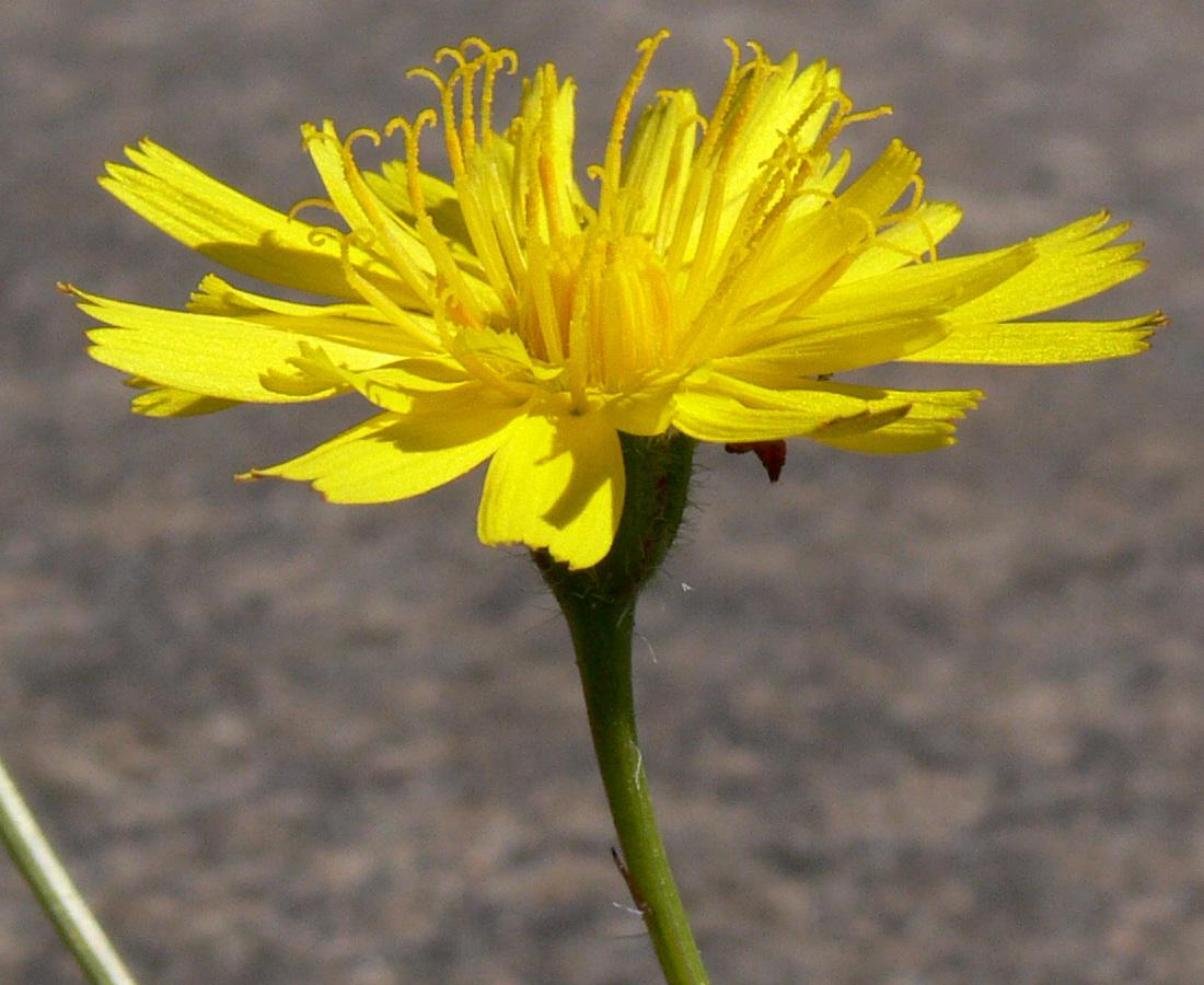 Изображение растения Leontodon saxatilis.