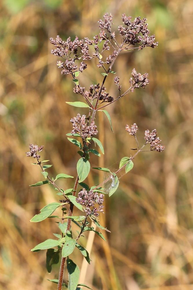 Фарфахин трава фото