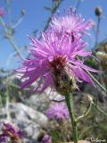 Centaurea × comperiana