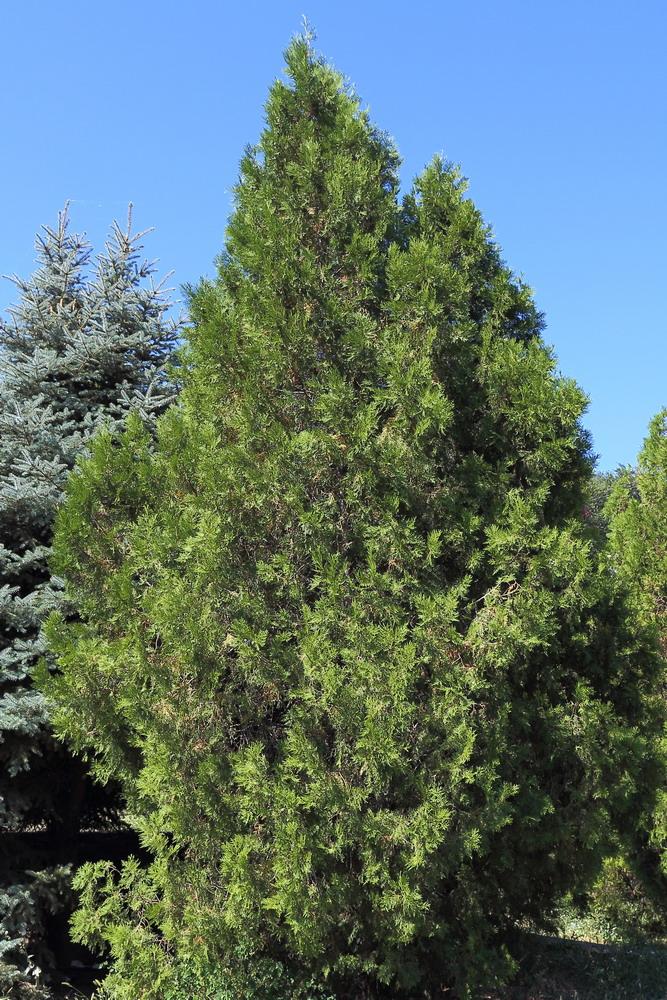 Плосковеточник восточный (Platycladus orientalis)