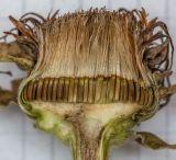 ботаническое описание девясил высокий