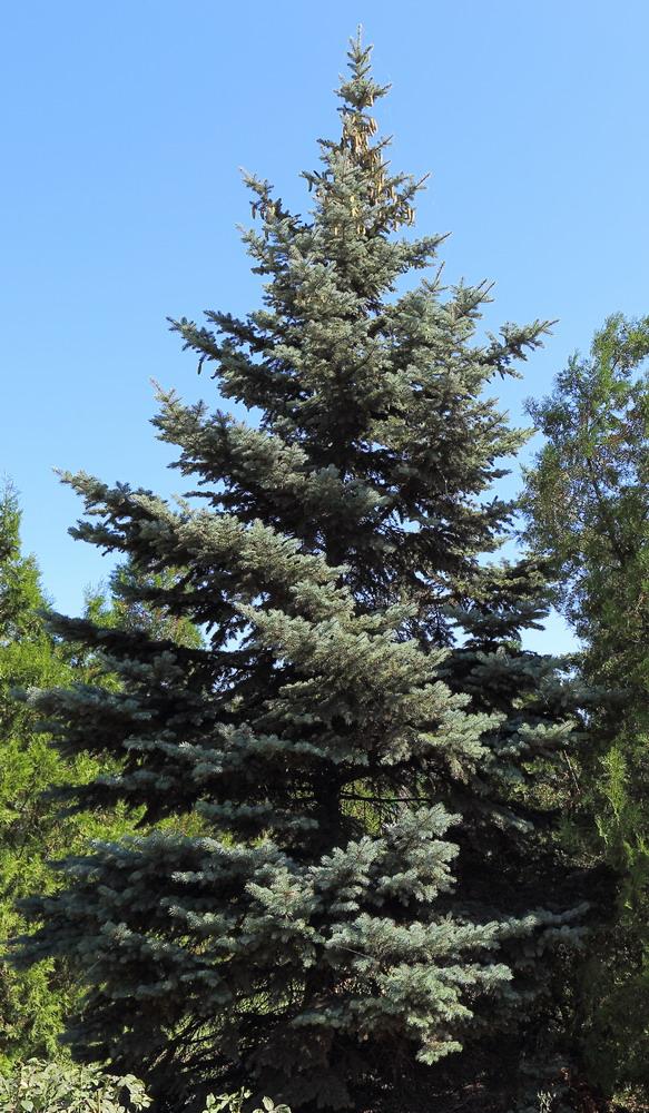 Ель колючая голубая (Picea pungens f. glauca)