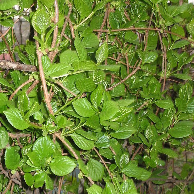 листья лимонника фото киста