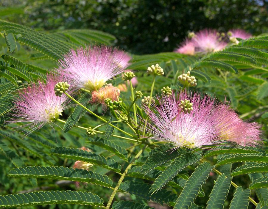 Изображение растения Albizia julibrissin.