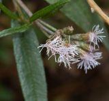 Aristeguietia persicifolia