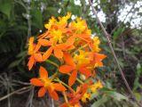 Epidendrum obrienianum