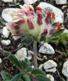 Anthyllis biebersteiniana