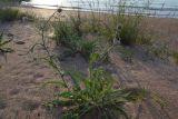Jurinea longifolia