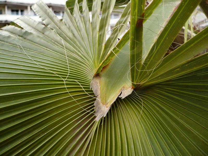 Травянистые пальмы виды фото