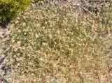 Aeluropus lagopoides