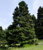 Abies cephalonica