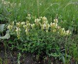 Scutellaria creticola
