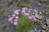Psephellus caucasicus