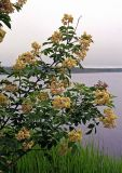 Sambucus williamsii. Ветви с соцветиями. Приморский край, Хасанский р-н, окр. оз. Лотос. 02.06.2007.