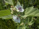 Althaea officinalis