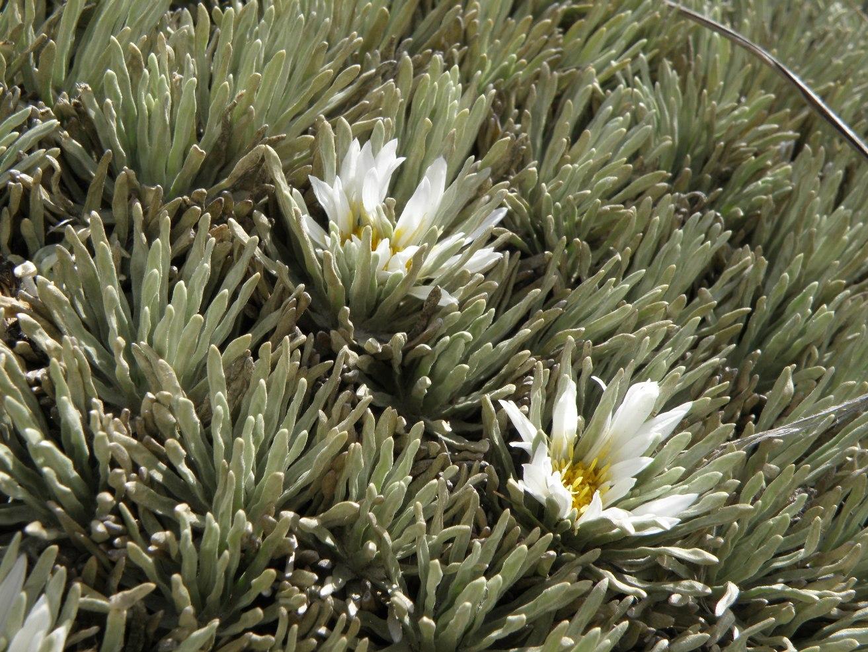 Celmisia lyallii X sessiliflora (Asteraceae) image 53086