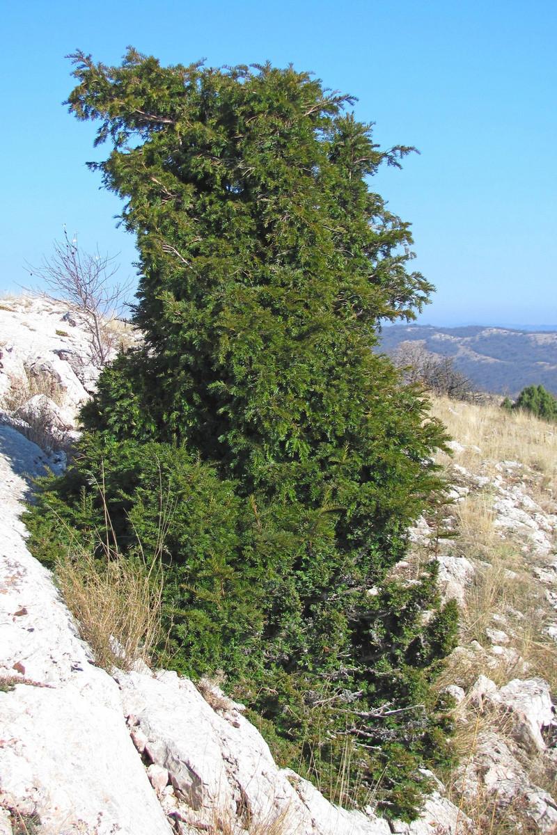 деревянных тис дерево фото в крыму восхищает
