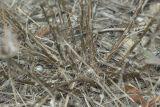 Artemisia taurica