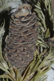 Abies gracilis