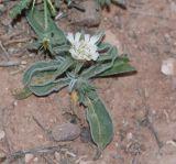 Sixalix eremophila