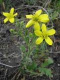 Ranunculus oxyspermus