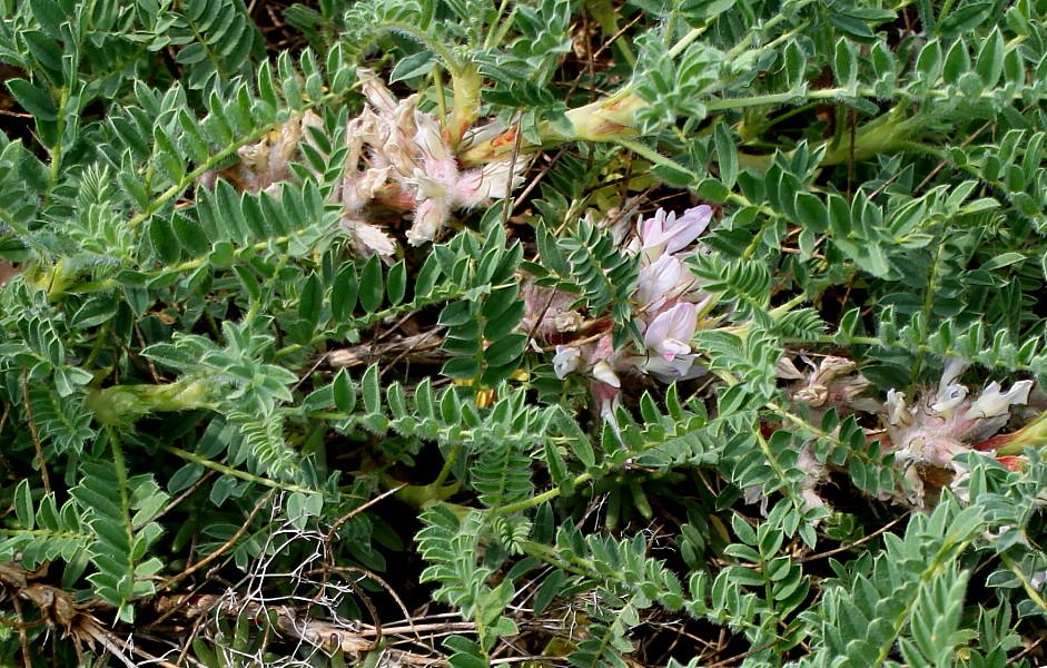 Изображение растения Astragalus sempervirens.