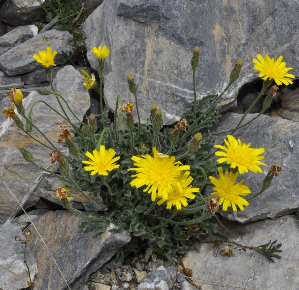 Изображение растения Leontodon crispus.