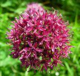 Allium robustum