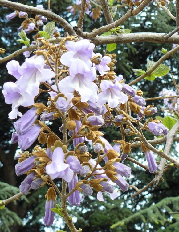 Павлония дерево выращивание 65