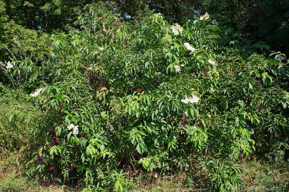 Бузина чёрная (Sambucus nigra)