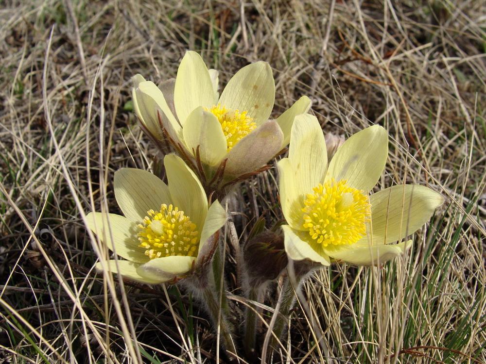 цветы хакасия фото и названия торнадо неофициальный