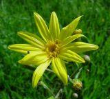 Ligularia thyrsoidea