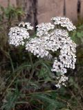 Achillea nigrescens