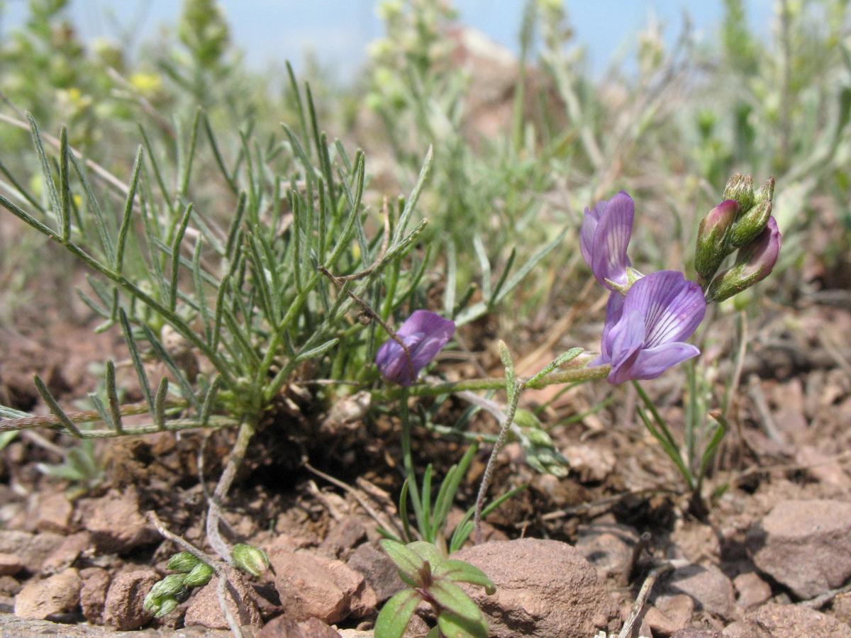 Изображение растения Astragalus nematodes.