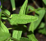 Scutellaria regeliana