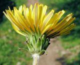 Taraxacum stenolobum