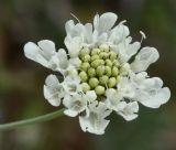 Scabiosa triniifolia