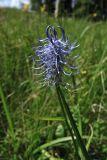 Phyteuma tetramerum