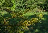 род Taxus