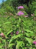Centaurea pseudophrygia