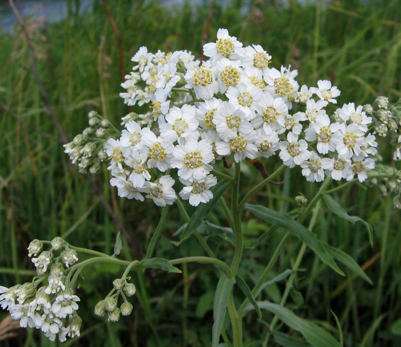 Белые полевые цветы с картинками и названиями