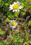 Leucanthemum ircutianum