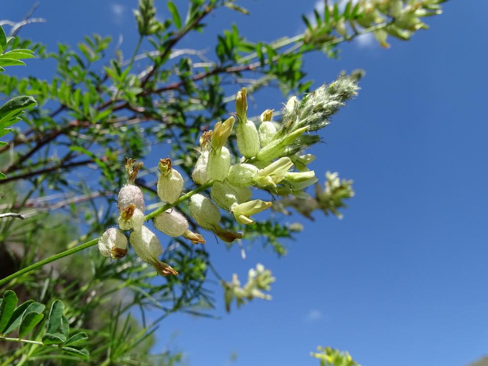 Изображение растения Astragalus scleropodius.